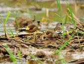 金翅雀  Oriental Greenfinch :DSC_0486.JPG