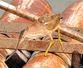 黃小鷺:DSC_4917.JPG