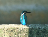 翠鳥  Common Kingfisher   :DSC_2377.JPG
