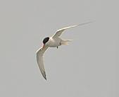 北竿之紅燕鷗:DSC_9289.JPG