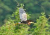 紫鷺     Purple Heron:DSC_0931.JPG
