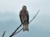 老鷹   Black kite :DSC_1411.JPG