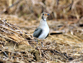 燕鴴 Large Indian Pratincole :DSC_2571.JPG