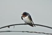 家燕  Barn Swallow   :DSC_4606.JPG