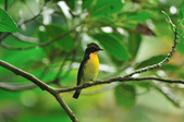 黃眉黃鶲Narcissus Flycatcher :DSC_0637.JPG