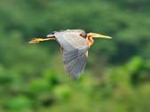 紫鷺     Purple Heron:DSC_0918.JPG