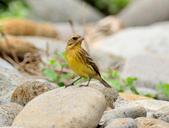 金鵐 Yellow-breasted Bunting  :DSC_6639.JPG