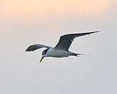 鳳頭燕鷗:DSC_7408.JPG
