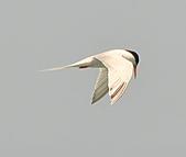 北竿之紅燕鷗:DSC_9310.JPG