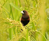 黑頭文鳥:DSC_5179.JPG