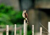 松雀鷹Besra sparrow hawk :DSC_2056.JPG