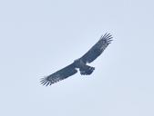 大冠鷲 Crested Serpent Eagle :DSC_1866.JPG