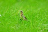 金鵐 Yellow-breasted Bunting  :DSC_6758.JPG