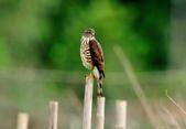 松雀鷹Besra sparrow hawk :DSC_2067.JPG