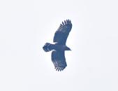 大冠鷲 Crested Serpent Eagle :DSC_1880.JPG
