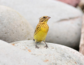 金鵐 Yellow-breasted Bunting  :DSC_7187.JPG