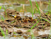 金翅雀  Oriental Greenfinch :DSC_0490.JPG