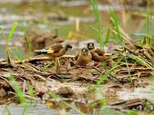 金翅雀  Oriental Greenfinch :DSC_0495.JPG