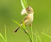 關渡之黃頭扇尾鶯:DSC_0397.JPG