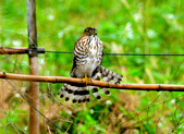 松雀鷹Besra sparrow hawk :DSC_1436.JPG
