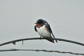 家燕  Barn Swallow   :DSC_4607.JPG