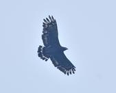 大冠鷲 Crested Serpent Eagle :DSC_1882.JPG