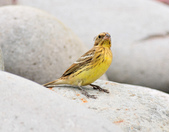 金鵐 Yellow-breasted Bunting  :DSC_7189.JPG