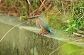 翠鳥  Common Kingfisher  :DSC_8513.JPG
