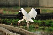 白鶴  Siberian Crane :DSC_0031.JPG