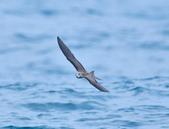 白眉燕鷗Bridled Tern :DSC_0390.JPG