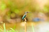 翠鳥  Common Kingfisher       :DSC_6007.JPG