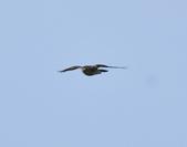 日本松雀鷹Japanese Lesser Sparrow Hawk  :DSC_6094.JPG