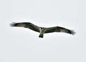魚鷹 Osprey      :DSC_0271.JPG