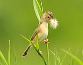 關渡之黃頭扇尾鶯:DSC_0399.JPG
