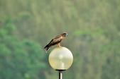 老鷹   Black kite      :DSC_4134.JPG