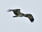 魚鷹 Osprey      :DSC_0451.JPG