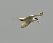 北竿之紅燕鷗:DSC_9311.JPG