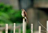 松雀鷹Besra sparrow hawk :DSC_2052.JPG