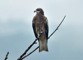 老鷹   Black kite :DSC_1407.JPG
