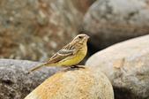 金鵐 Yellow-breasted Bunting  :DSC_7228.JPG