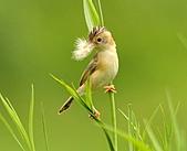 關渡之黃頭扇尾鶯:DSC_0403.JPG