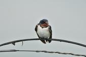 家燕  Barn Swallow   :DSC_4608.JPG