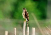松雀鷹Besra sparrow hawk :DSC_2065.JPG