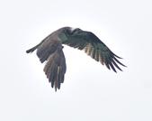 魚鷹 Osprey   :DSC_4313.JPG
