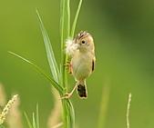 關渡之黃頭扇尾鶯:DSC_0406.JPG