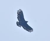 大冠鷲 Crested Serpent Eagle :DSC_1881.JPG