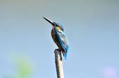 翠鳥  Common Kingfisher  :DSC_2460.JPG