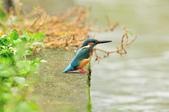 翠鳥  Common Kingfisher  :DSC_8508.JPG