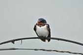 家燕  Barn Swallow   :DSC_4609.JPG