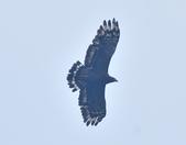 大冠鷲 Crested Serpent Eagle :DSC_1884.JPG